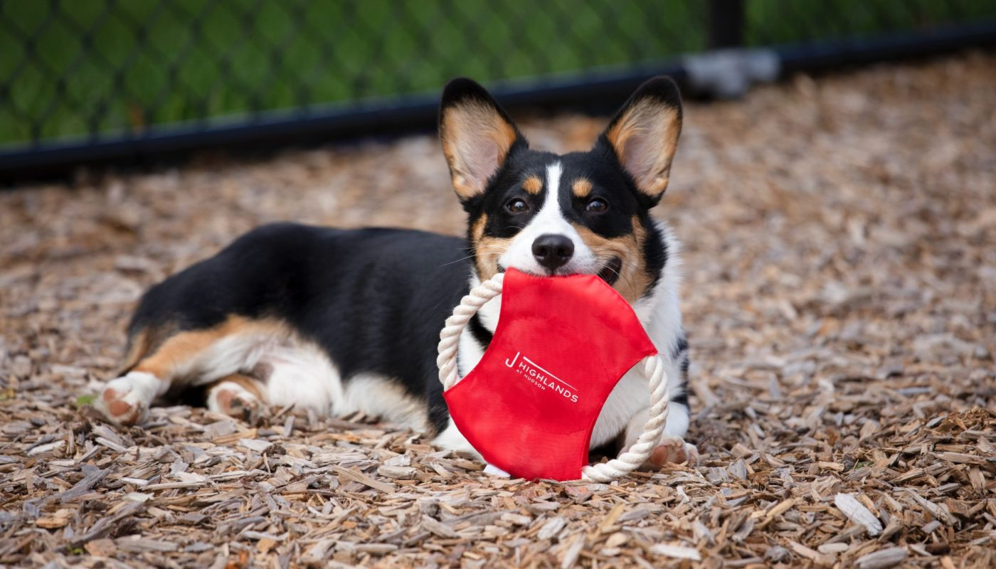 cute corgi playing with frisbee in fenced in dog park at j highlands at hudson luxury apartments